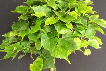 Harilik pärn ´Komsto Mini´ (Tilia cordada) - kääbussort kera
