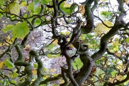 Suureleheline pärn ´Tortuosa´ (Tilia platyphyllos)