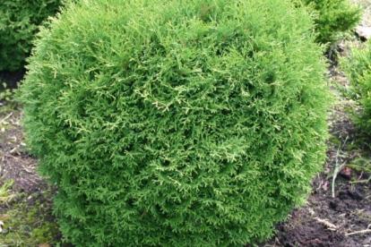Harilik elupuu ´Tiny Tim´ (Thuja occidentalis)