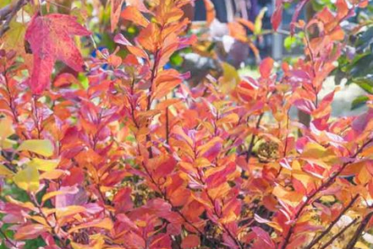 Kaseleheline enelas ´Tor´ (Spiraea betulifolia)