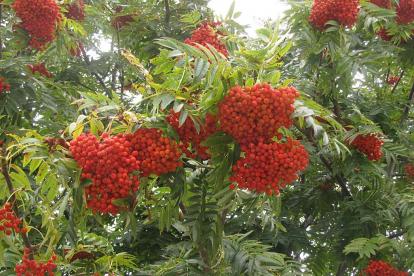 Sahhalini pihlakas ´Ullung´ (Sorbus commixta)