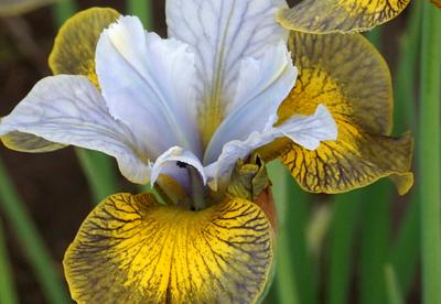 Siberi võhumõõk ´uncorked´ (Iris sibirica)