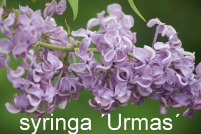 Harilik sirel ´Urmas´ (Syringa vulgaris)