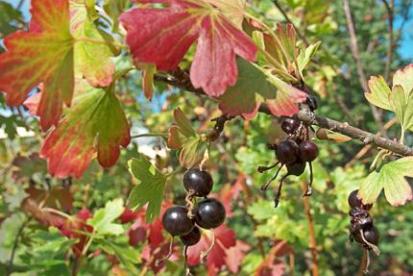 Kuldsõstar ´Krupnoplodnaja Uzbekistajana´ (Ribes aureum)