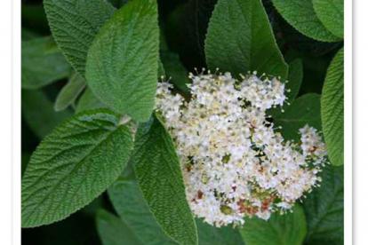Kurdlehine lodjapuu (Viburnum-rhytidophyllum)