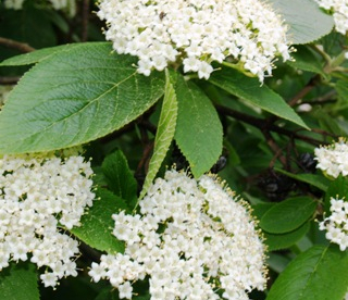 Villane lodjapuu (Viburnum lantana)