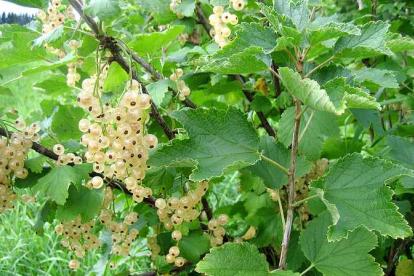Valge sõstar ´Werdavia´ (Ribes niveum)