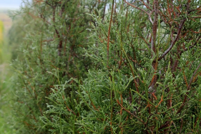 Harilik elupuu ´Abel Twa´ (Thuja occidentalis)